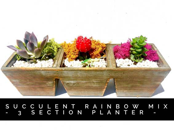 A Succulent Rainbow Mix  3 Section Planter plant nite project by Yaymaker