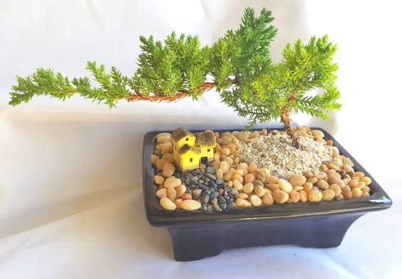 A BONSAI TREE  Juniper Bonsai Tree for Beginners plant nite project by Yaymaker