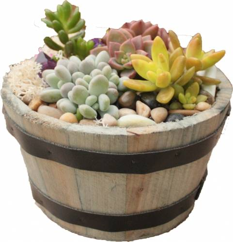 A Succulent Garden in Rustic Whiskey Barrel BONUS FOURTH PLANT INCLUDED plant nite project by Yaymaker
