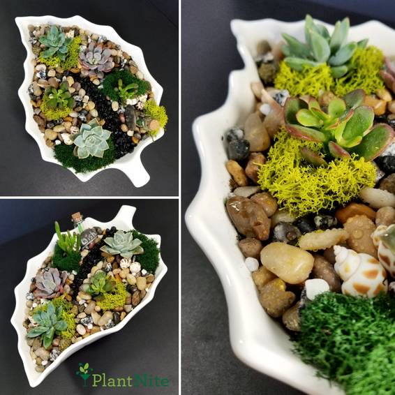 A White Leaf Bowl With x5 Succulents plant nite project by Yaymaker